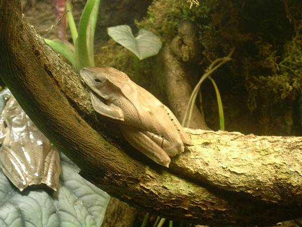 小眼睛青蛙