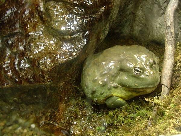 很肥的青蛙