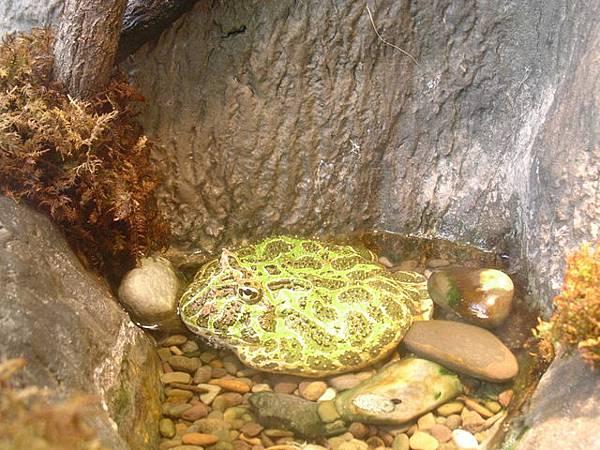 有花紋的大青蛙