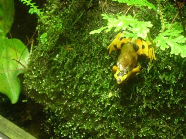 黃色的毒蛙