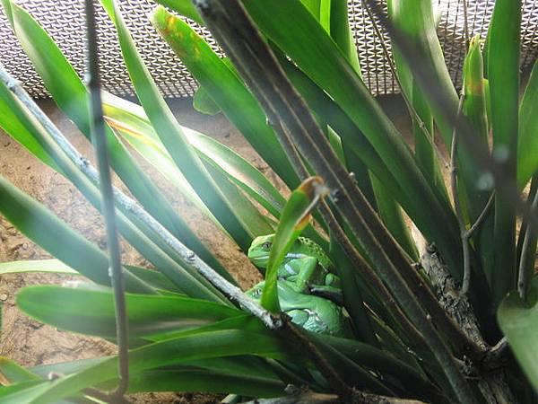 疊在一起的青蛙#1