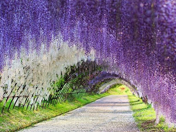 紫藤花隧道.jpg