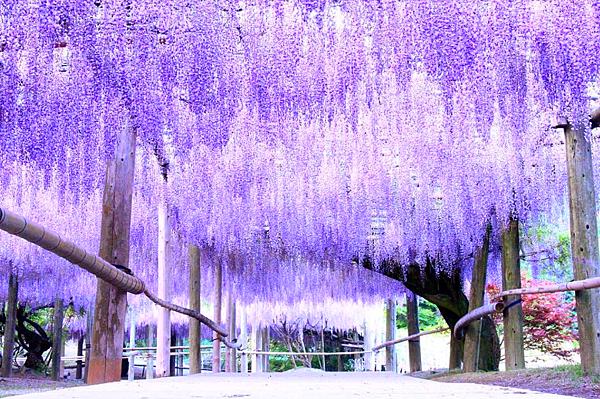紫藤花隧道1.png