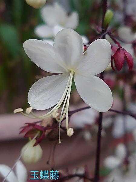 玉蝶花.png