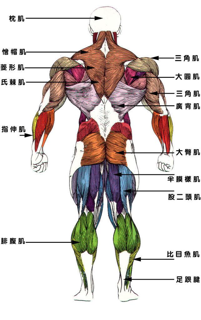 肌肉7.jpg
