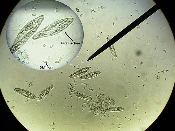 Paramecium 草履蟲 原生動物 濃縮.jpg