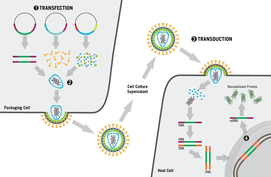 lentivirus-production-mirus-bio-recombinant.png
