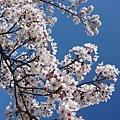 櫻花有點美的太過份....不過這是勘景時拍的