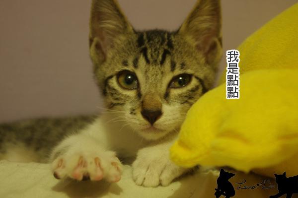 室友貓咪愛吃王點點~♥