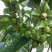 (全省運送)各種當季果苗/果樹