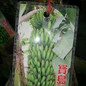 (全省運送)寶島蕉樹苗