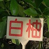 (全省運送)白柚-稼接苗