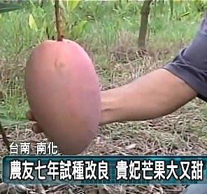 (全省運送)貴妃芒果-稼接苗