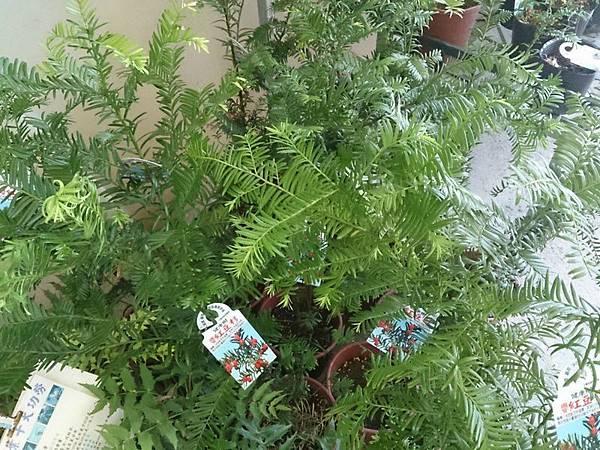 (全省運送)紅豆杉-實生苗
