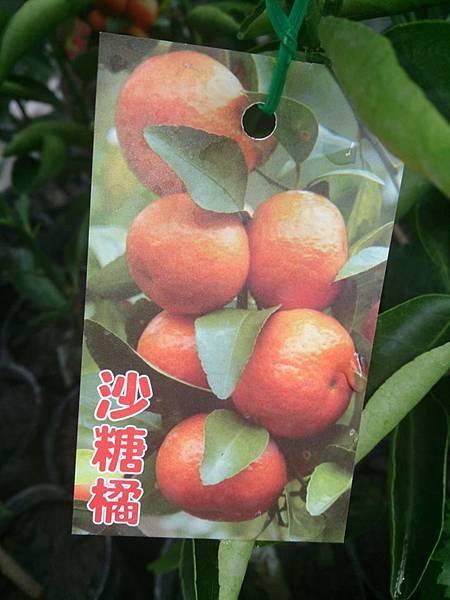 (全省運送)沙糖橘-嫁接苗