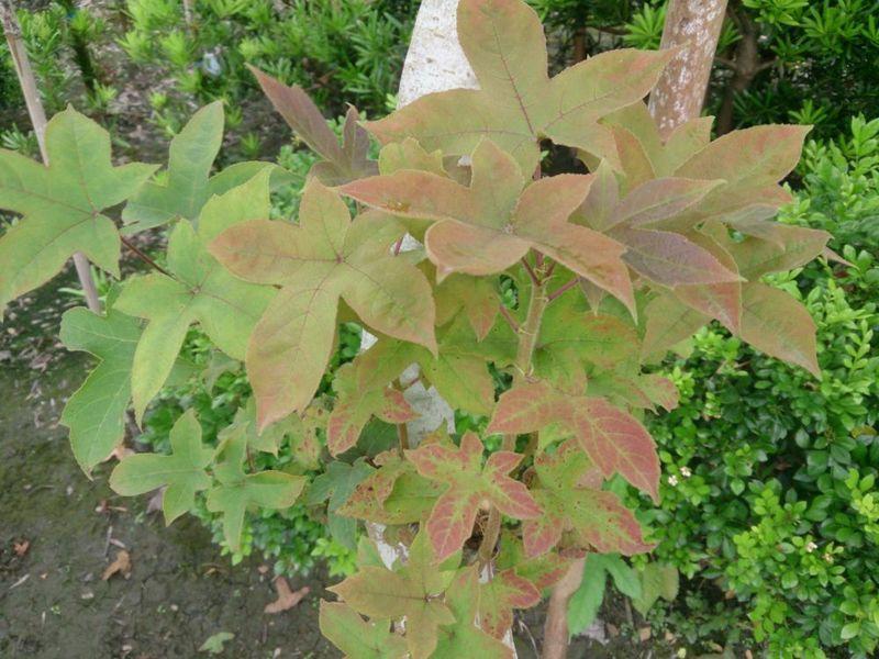 (彰化縣永靖)楓香成樹/米徑6cm~8cm