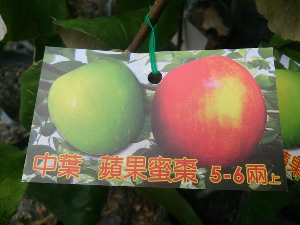 (全省運送)中葉/蘋果蜜棗-嫁接苗