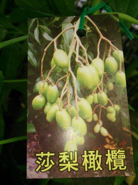 (全省運送)梨莎橄欖-實生苗