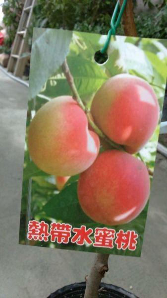 (全省運送)熱帶水蜜桃-嫁接苗