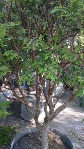 (樹齡20年)樹葡萄/高度4米~5米/米徑13cm~15cm移植袋裝