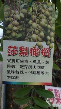 (全省運送)莎梨橄欖-實生苗