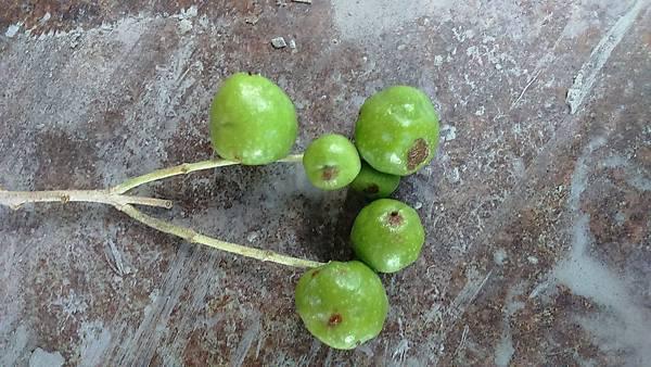 (榨橄欖油專用樹種)油橄欖-扦插苗