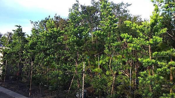 羅漢松-成樹/頭部4cm~7cm地植/現場挑選與報價
