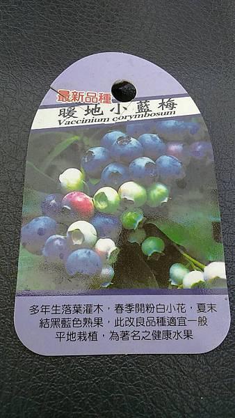 (全省運送)暖地小藍莓-實生苗/請先來電詢價