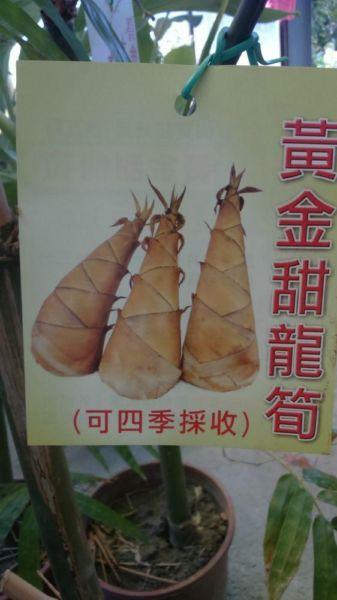 (全省運送)黃金甜龍筍苗/請先來電詢價