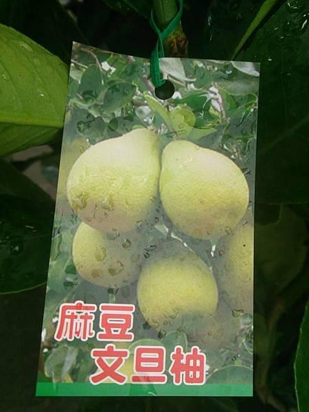 (全台運送)麻豆文旦-嫁接苗/請先來電詢價