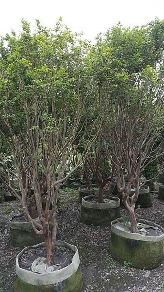 (樹齡20年)樹葡萄/高度4米~5米/頭部13cm~15cm移植袋裝