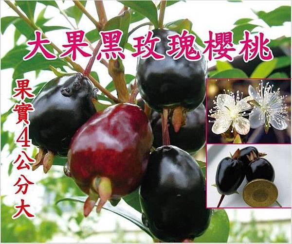 (樹齡3年)大果黑玫瑰櫻桃-成樹/高度2米,頭部2CM,移植袋裝