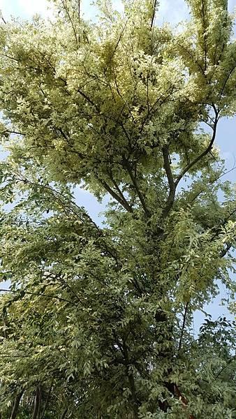 斑葉櫸木/白雞油-成樹/米徑10cm與12cm左右/現場挑選與報價