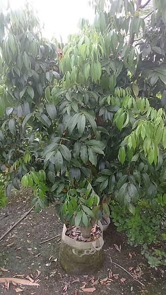 (樹齡11年)三月紅-荔枝成樹/移植袋裝/請先來電詢價