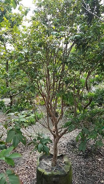 樹葡萄(嘉寶果)頭部4CM左右/移植袋裝/限面交自運