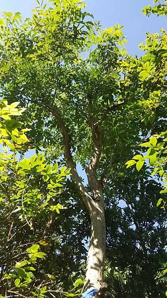 光蠟樹/地植-米徑8公分左右/限面交自運/請先來電詢價