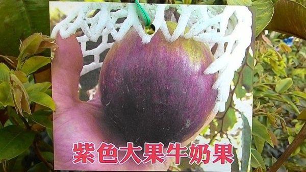 紫色大果牛奶果-成樹/頭部8CM左右,移植袋裝,請先來電洽詢