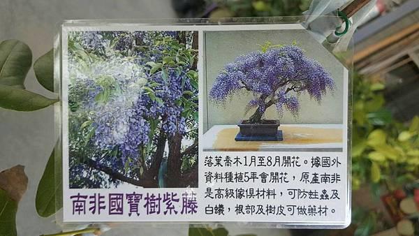 南非樹紫藤-高度1米/移植袋裝/請先來電詢價