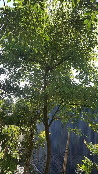 樟樹1棵-米徑5公分左右/移植袋裝/限面交自運/請先來電洽詢