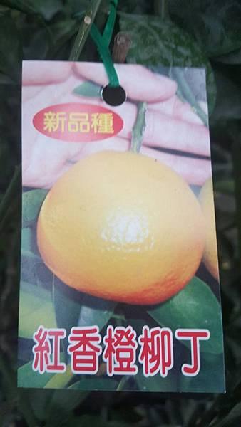 [售]紅香橙-嫁接苗/請先來電洽詢