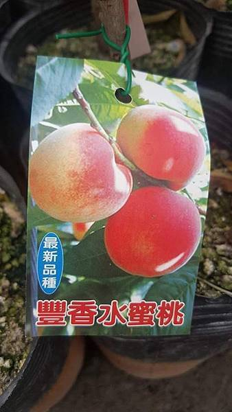 [售]豐香水蜜桃-嫁接苗/請先來電洽詢