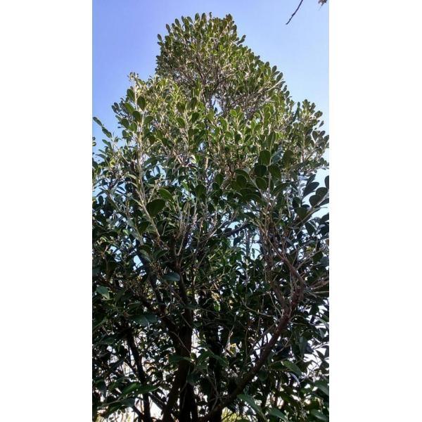 象牙木-成樹/地植頭部8公分~10公分左右/現場挑選與報價