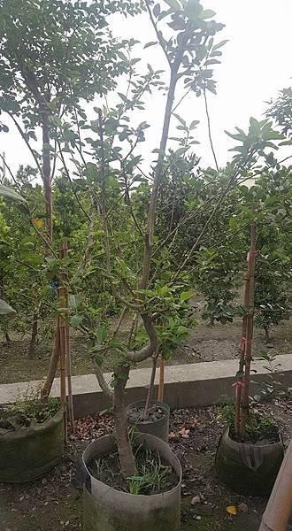 [售]富士蘋果樹1棵/移植袋裝/請先來電洽詢