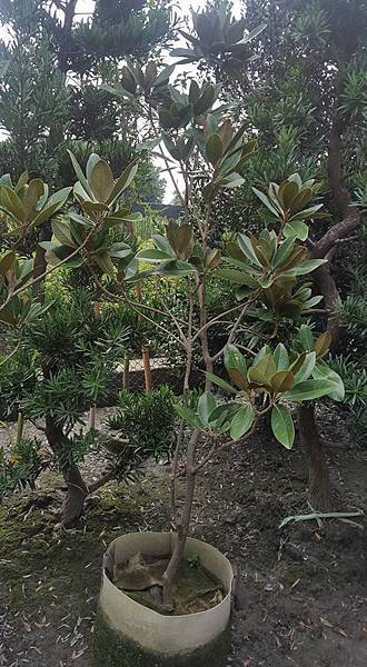 [售]木蓮花-成樹/移植袋裝/現場挑選與報價