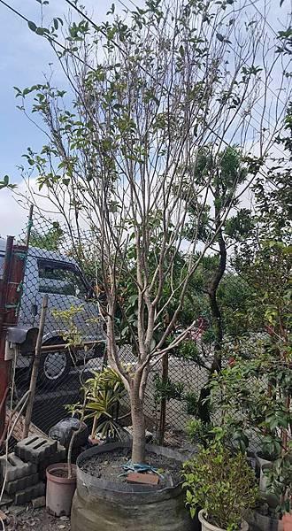 [售]四季桂花-成樹/頭部8公分左右/移植袋裝