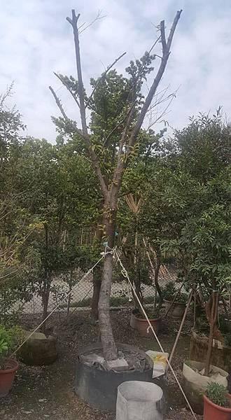 [售]山櫻花-成樹/請先來電詢價