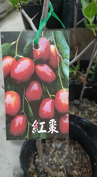 [售]紅棗根生苗/請先來電洽詢