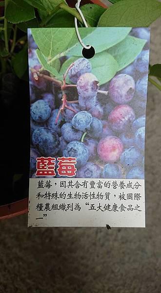 [售]藍莓-扦插苗/請先來電詢價