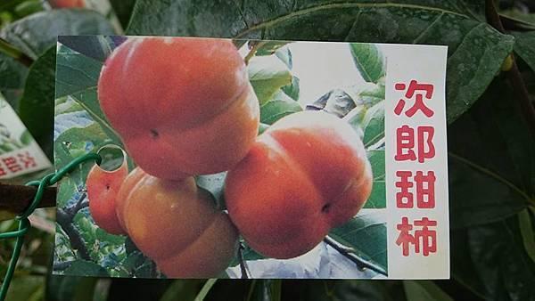 [售]次郎甜柿嫁接苗/請先來電詢價
