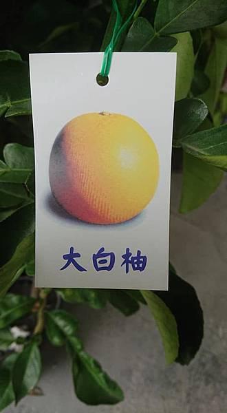 [售]大白柚嫁接苗/請先來電詢價